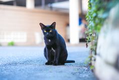 The black cat is sitting looking straight ahead.,defocus,spot focus. The black cat is sitting looking straight ahead., defocus,spot focus royalty free stock photo