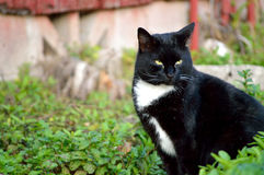 Black cat sitting. Male, black and white stray cat sitting outside Royalty Free Stock Images