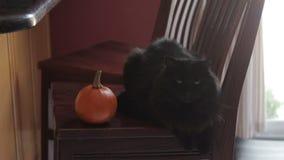 Black cat sitting next to mini pumpkin stock footage