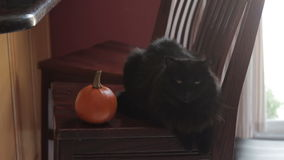 Black cat sitting next to mini pumpkin. Closeup of a black cat lying on a chair next to a mini pumpkin stock footage