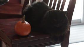 Black cat sitting next to mini pumpkins stock video footage