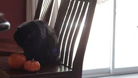 Black cat sitting next to two mini pumpkins stock video footage