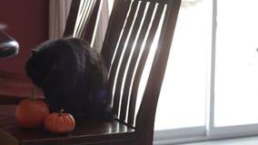 Black cat sitting next to two mini pumpkins stock video footage