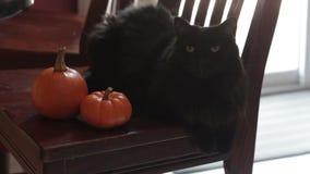 Black cat sitting next to two mini pumpkins stock video