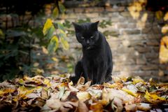 Free Black Cat Sitting Outside In The Garden On Leaves Stock Image - 164077421