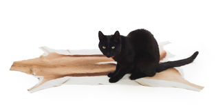 Black Cat sitting on springbok animal fur Stock Images