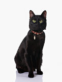 Black cat sitting in white background. Cute black cat with collar sitting isolated on white background Stock Photos