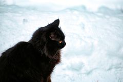 Black cat in the winter on white snow. Black cat sitting on white snow in winter Royalty Free Stock Images