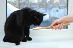 Black cat sitting on the window eating sour cream from a wooden spoon. royalty free stock images