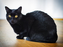 Black cat. Sitting black cat on a wooden floor stock photo
