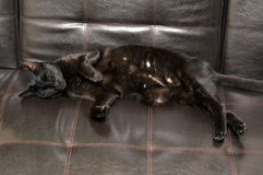Black cat sleeping on side. A beautiful black Havana Brown cat is sleeping on his side on a black leather sofa Royalty Free Stock Image