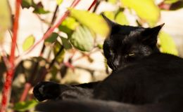 Black cat sleeps. With yellow eyes stock photography