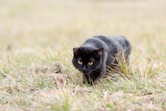 Black cat sneaking in the grass. One eared black cat on the meadow is sneaking for a pray Royalty Free Stock Images