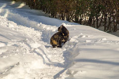 Black Cat on a snowy trail in Pomorie, Bulgaria Royalty Free Stock Images