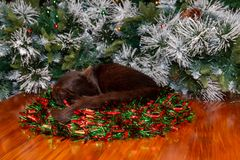 Black cat snuggled in Christmas wreath tail draped over edge. stock photo