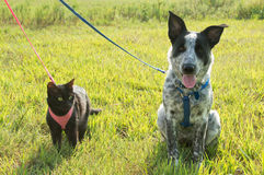 Black cat and a spotted puppy on leash. Against sunny green background Royalty Free Stock Image