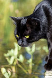 Black cat standing at the garden pond,  animal portrait Royalty Free Stock Photo