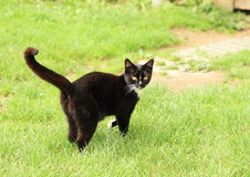 Black cat. Standing on meadow royalty free stock image