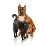 Black cat is standing next to a seated striped pit bull Stock Photo