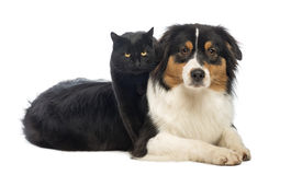 Black Cat standing over an Australian Shepherd lying Stock Photo