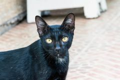 The black cat is staring. At the ground Royalty Free Stock Photo