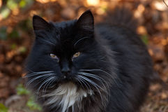 Black Cat. With staring eyes Stock Image