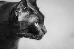 Black cat. Staring eyes commitment royalty free stock images