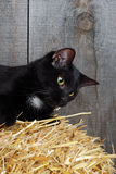Black cat on straw Stock Photos