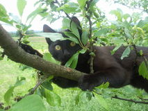 Black Cat. In a tree royalty free stock photos