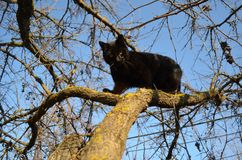 Black cat on the tree. Attentive hunting royalty free stock photography
