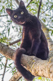 Black cat on a tree branch. Cats are very agile Pets. They often like to climb to high places and, in particular, trees Stock Images
