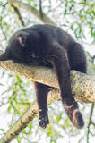 Black cat on a tree branch. Cats are very agile Pets. They often like to climb to high places and, in particular, trees Stock Photo