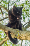 Black cat on a tree branch. Cats are very agile Pets. They often like to climb to high places and, in particular, trees Stock Photography