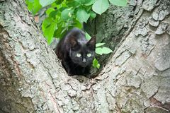 A black cat in a tree. A black cat sits in a tree Stock Photo
