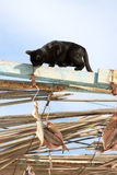 Black cat tries to steal drying fish, Spain Royalty Free Stock Images