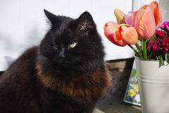 Black Cat With Tulips Royalty Free Stock Photos