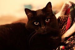 Black cat in tungsten light Stock Photography