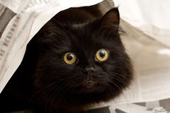 Black cat under a newspaper. Cute black cat under a newspaper stock images