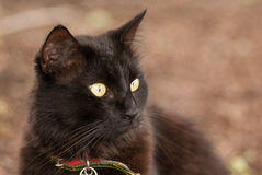 Black cat. Very alert black cat wearing a collar Stock Image
