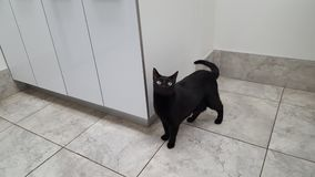 Black cat at the vet. Black cat on a visit to the vet's office stock image