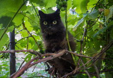 Black cat in the vine Royalty Free Stock Photo