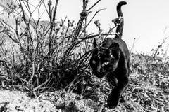 Black cat walking alone. Israel, Tel Aviv stock images