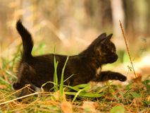 Black cat walking on autumn grass Royalty Free Stock Photo