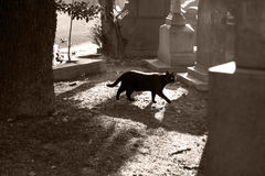 Black cat walking in a cemetery Royalty Free Stock Images