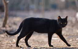 Black cat walking down the. Street Stock Images