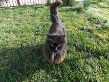 Black cat walking on green grass stock image