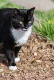 Black Cat Walking Royalty Free Stock Photo