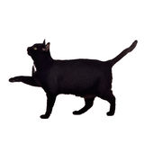 Black cat walking with paw up Royalty Free Stock Image
