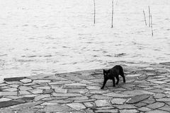 A black cat walking on a pier on Trasimeno lake Umbria. A black cat walking on a pier on Trasimeno lake Stock Photography