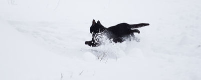 Black cat walking in the snow Royalty Free Stock Photo